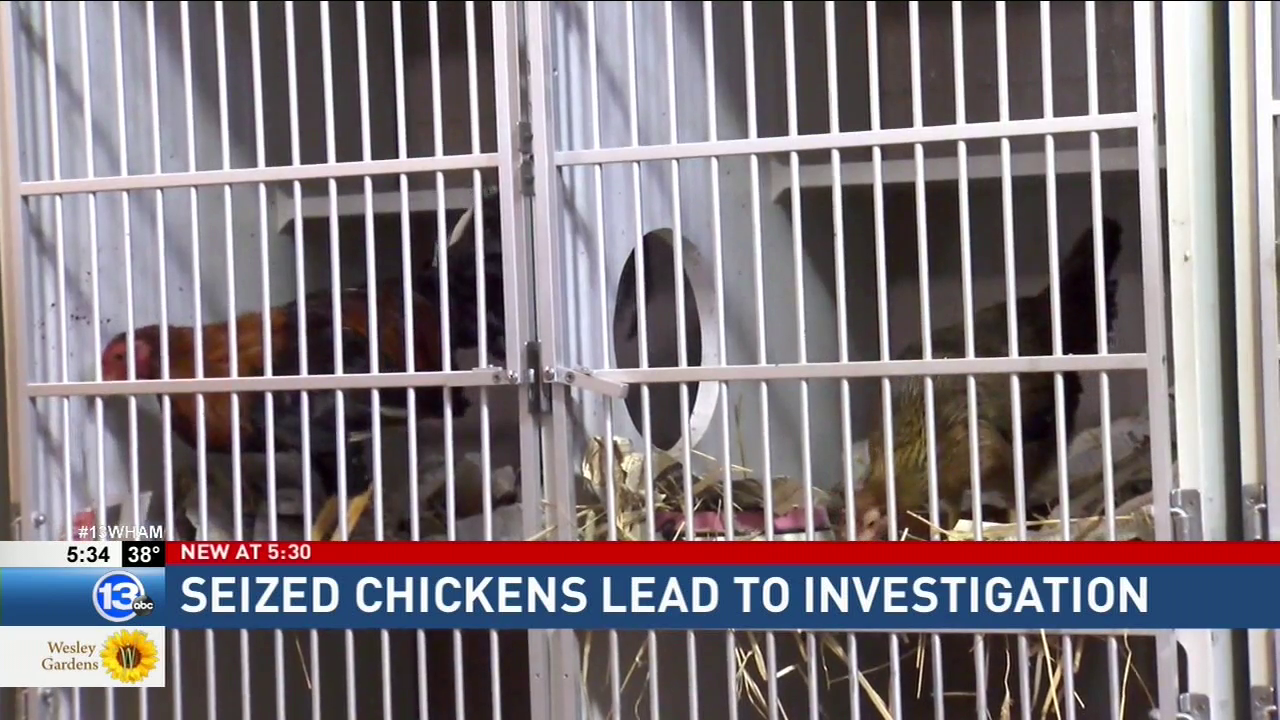 Lollypop Farm investigates why roosters & hens were found inside a city home